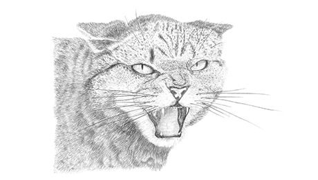 Drawing of hissing cat