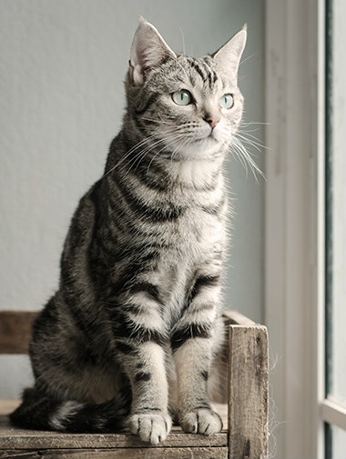 Pedigree cat sitting upright