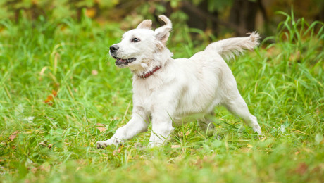 White puppy running through grass