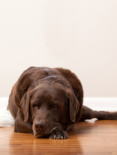 Brown Labrador resting