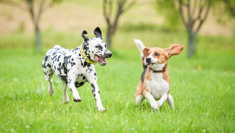 Dalmation and small dog playing