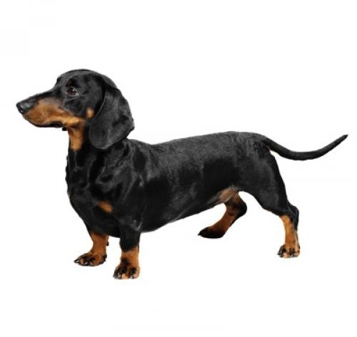 Dachshund (Smooth Haired)